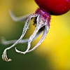 Macro Image of Rose Hip