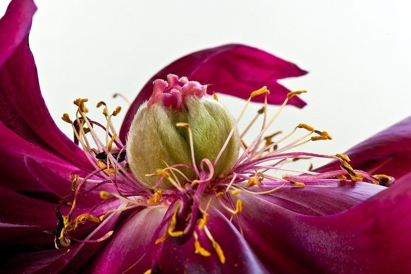 Old Peony Flower