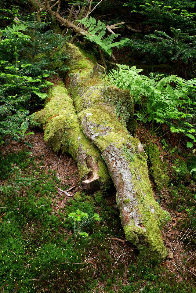 A fallen log on the forest floor, Roan Mountain, Tennessee.