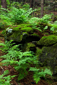 Ferns in the forest, Roan Mountain, Tennessee.