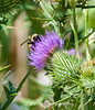 A bumblebee forages a thistle blossom.