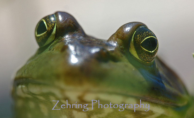 Nose to nose with a bullfrog.
