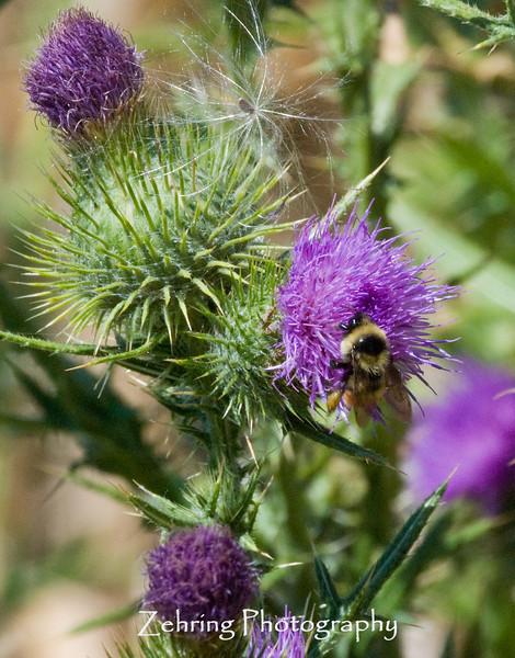 A bumblebee scouting through a thistle bush .