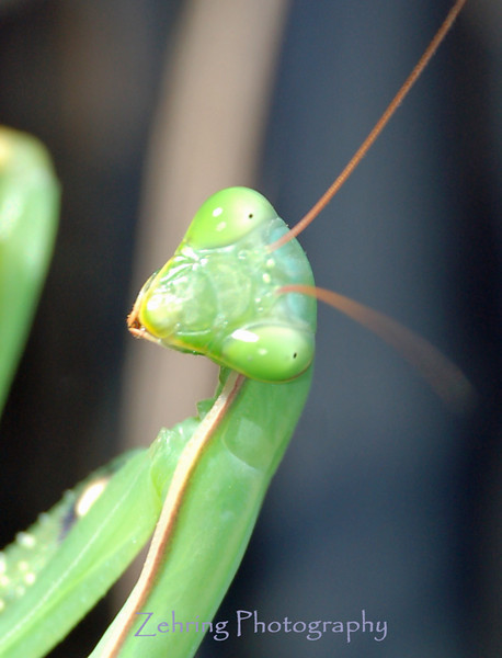 Eyeball to eyeball with a praying mantis.