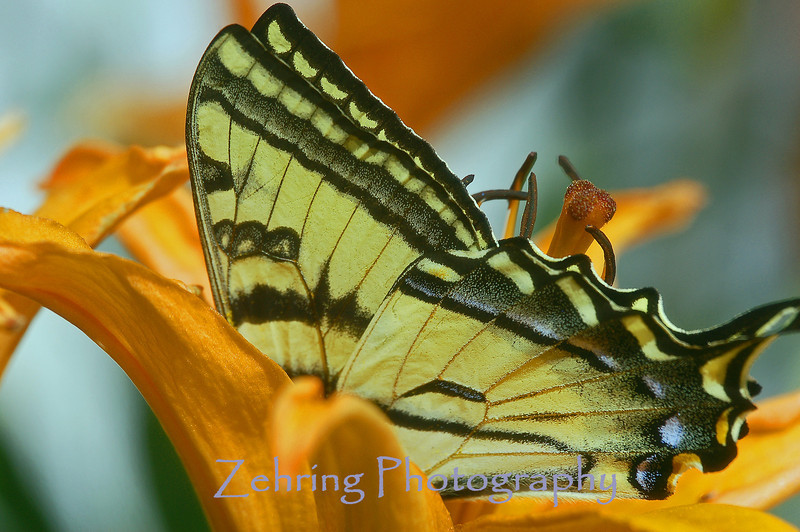 Tiger swallowtail butterfly feeds on an oriental lily.