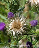 Varying colors and textures on a blooming thistle bush.