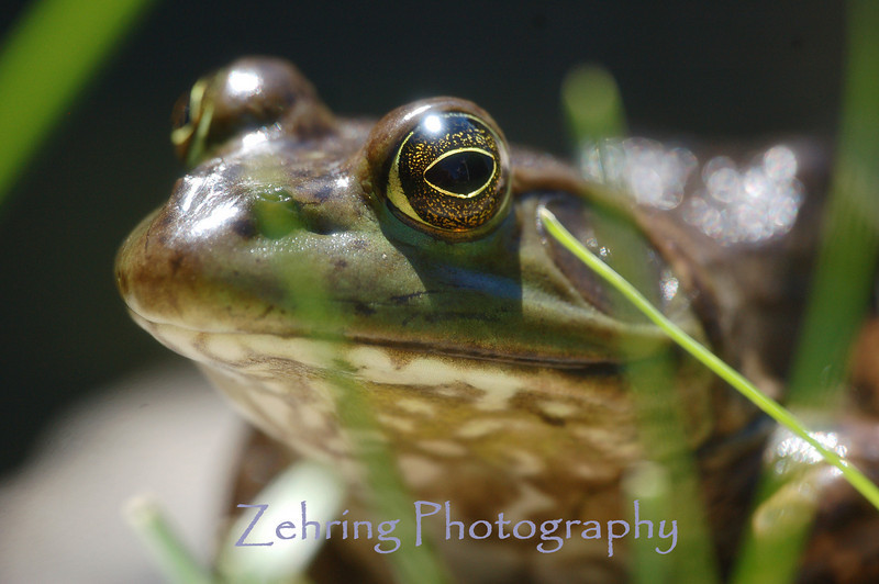 Close-up of a bullfrog sunning himself on a warm mid-summer morning.