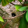 bald faced hornet nest is about 18 inches long and is located in a rhododendron bush next to Hugo Pfaltz' property.