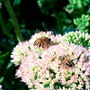 Sedum ( Autumn Joy ) is a tremendous  late September favorite with the bees in my yard.
