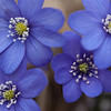 Liverleaf (Hepatica nobilis) (NOR: Blåveis)