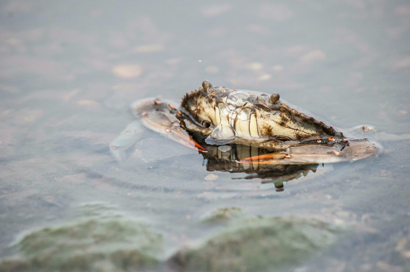 Blue Crab,  Prime Hook NWR, 8/1/2014.