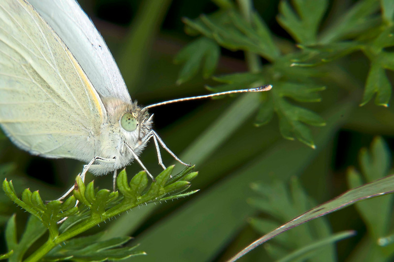 Cabbage white on arugula, 9-6-2011