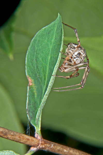 Common house spider, 9-9-2011