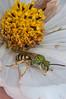 Green metallic bee, near Beckwith's Orchard, 9/6/2011.