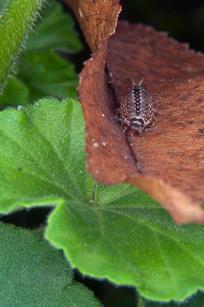 Wood louse, 9-9-2011