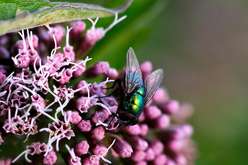 Grön parasitfluga