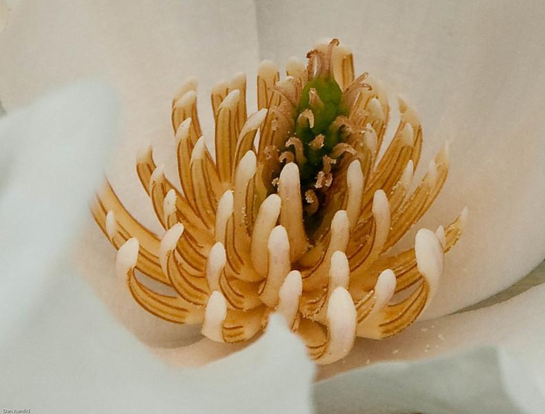 Magnola blomst