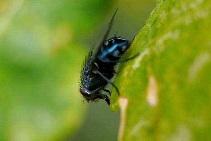 Fluga på eklöv