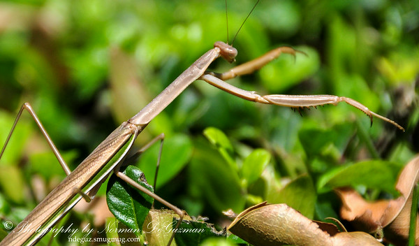 Pray mantis