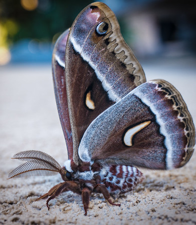 Cenothus Silk Moth