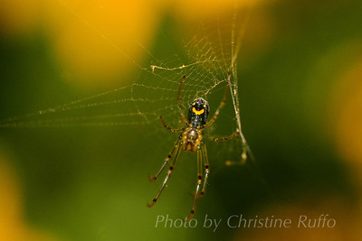 Put on a happy face... Orchard spider, Maryland, 2012