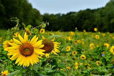 Sunflower field at McKee-Beshers Wildlife Management Area, Montgomery County, Maryland, August 26, 2012
