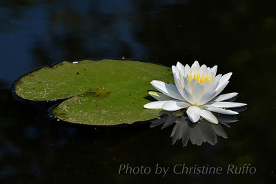 Kenilworth Aquatic Gardens Photo by Christine Ruffo All rights reserved