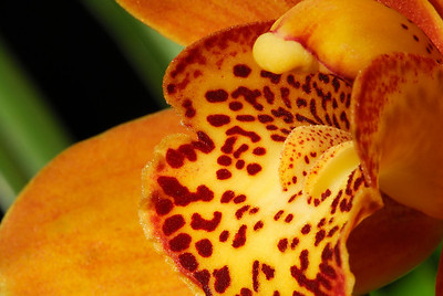 DSC_5486_Cymbidium_Detail