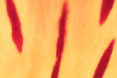 Yellow and red patterns on a flower petal.