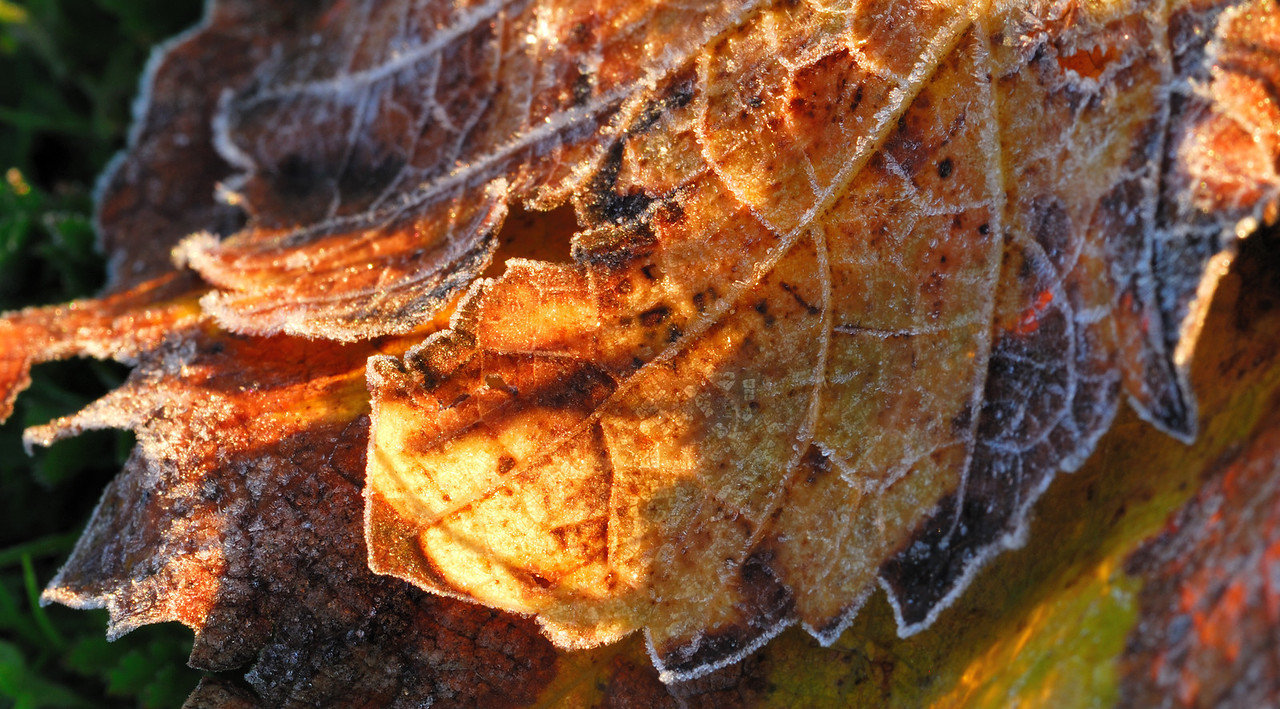 Frost on a vine leaf