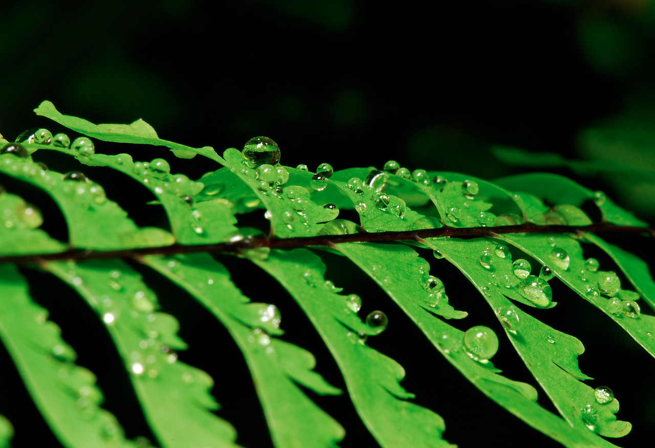 Closeup of water droplets on fern.  Fern Canyon, Redwoods National Park.