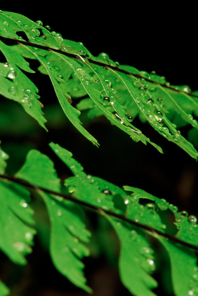 Water Droplets on Ferns. Fern Canyon, Redwoods National Park.