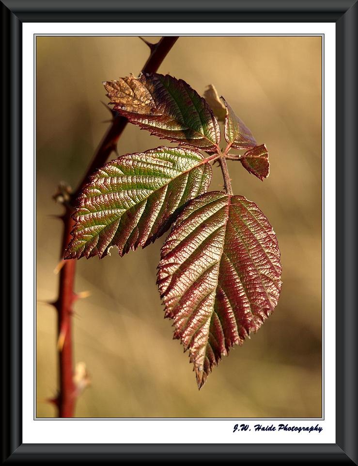 Wild Blackberry - New leaves