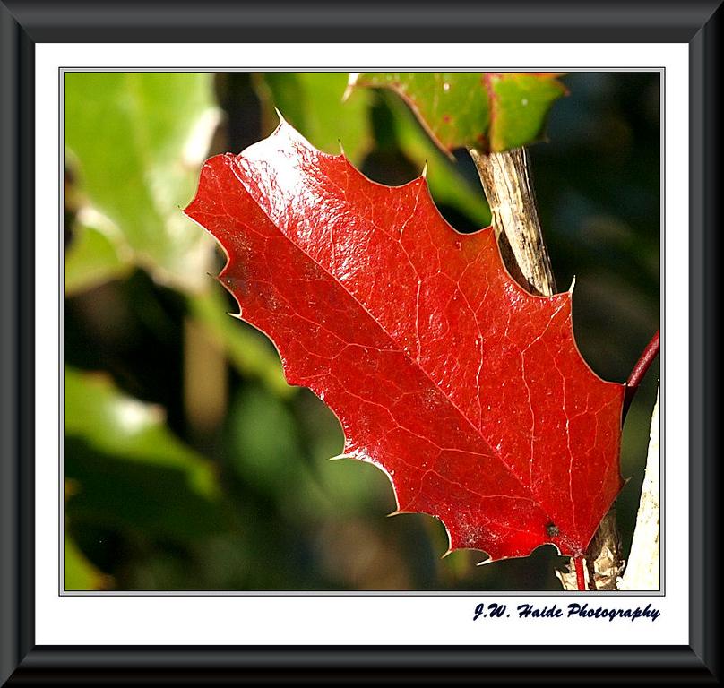 Oregon Grape leaf in my yard in Hillsboro, Oregon