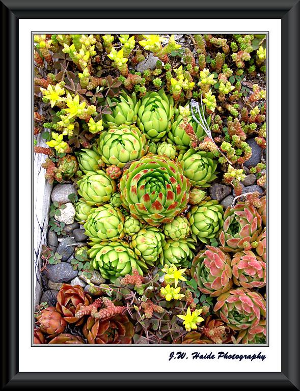 Succulents at Oregon Garden