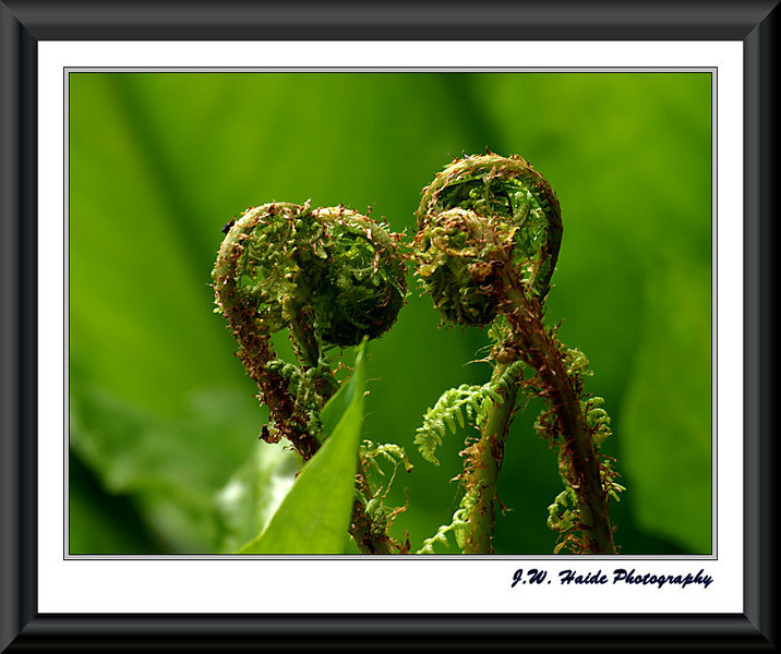 Kissing ferns or Fern heart in Noble Woods Park in Hillsboro, Oregon