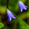Harebells and Showers