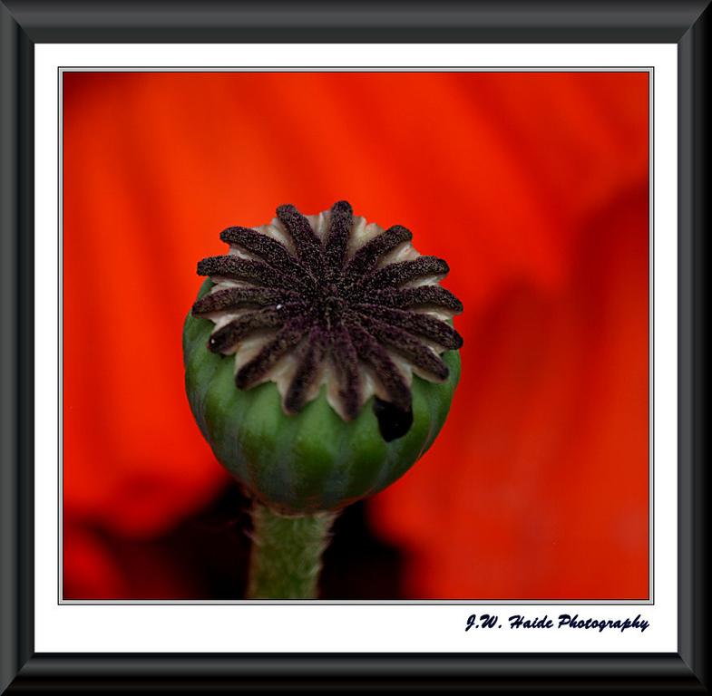 Poppy Seed Pod along walk in Hillsboro, Oregon