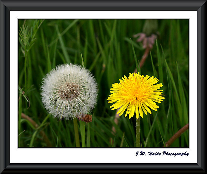 Dandelion - Old and New - Tualatin National Wildlife Refuge, Sherwood, Oregon