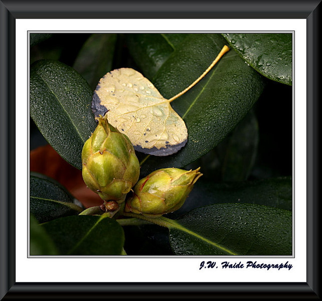 Rhododendron buds and fall leaf