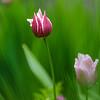 Tulips in the garden between rain showers