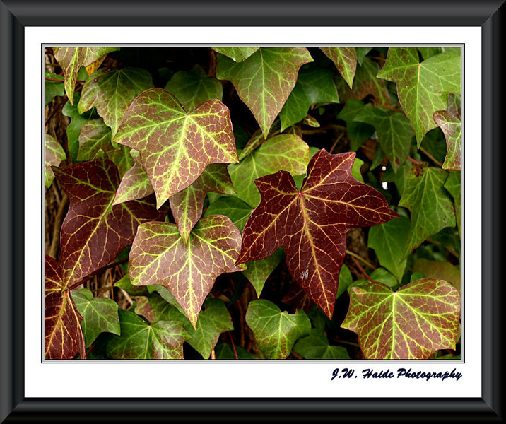 Ivy along the street in Hillsboro, Oregon