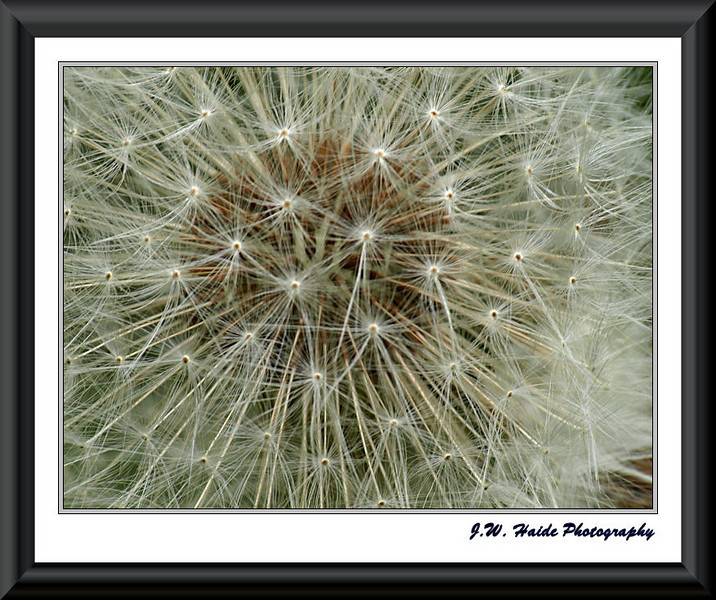 Dandelion close up - All those seeds