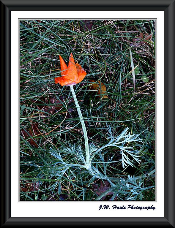 Fallen Poppy