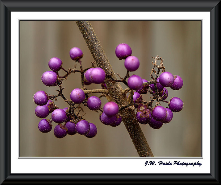 Beauty Berry in my yard in Hillsboro, Oregon