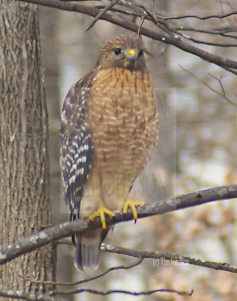 Emerging from a winter blast, this immature hawk is hungry and  waiting for the movement of some unsuspecting varmint. Happy hunting! This is a red shouldered hawk and they enjoy salamanders, skinks and other small creatures.