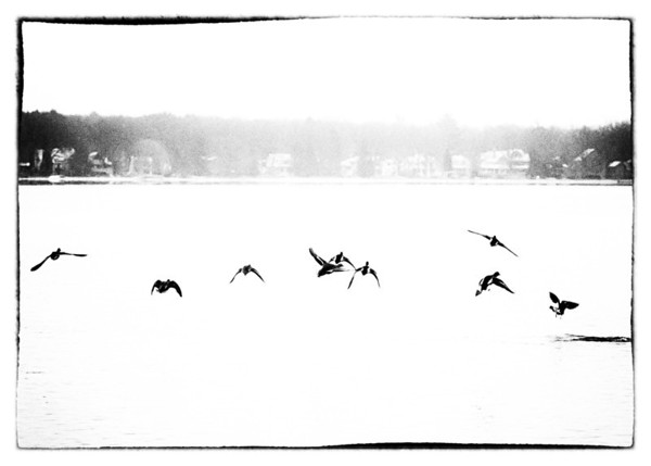 December 17, 2011 :: Making a run for it <br /> The lake still hasn't frozen over for more than a day.  It was cold and snowy all day, but the ducks were still hanging out looking for food.