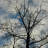 Close up Silhoutted Tree against Blue Sky and White Clouds