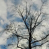 MId Rnge Tree against Blue Sky and white Clouds