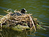 Close to the edge of the lake, a Coot keeps her eggs warm.